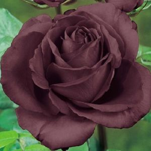50 Σποροι Τριανταφυλλο Χρωμα Σοκολατα