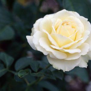 50 Σποροι Ασπρο Τριανταφυλλο
