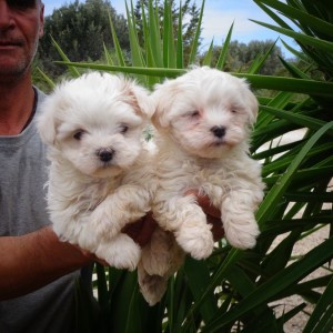 Eκτροφείο , πώληση κουταβιών και εκπαιδευμένων σκύλων