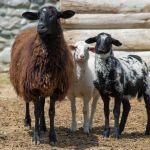 Πωλούνται προβατα